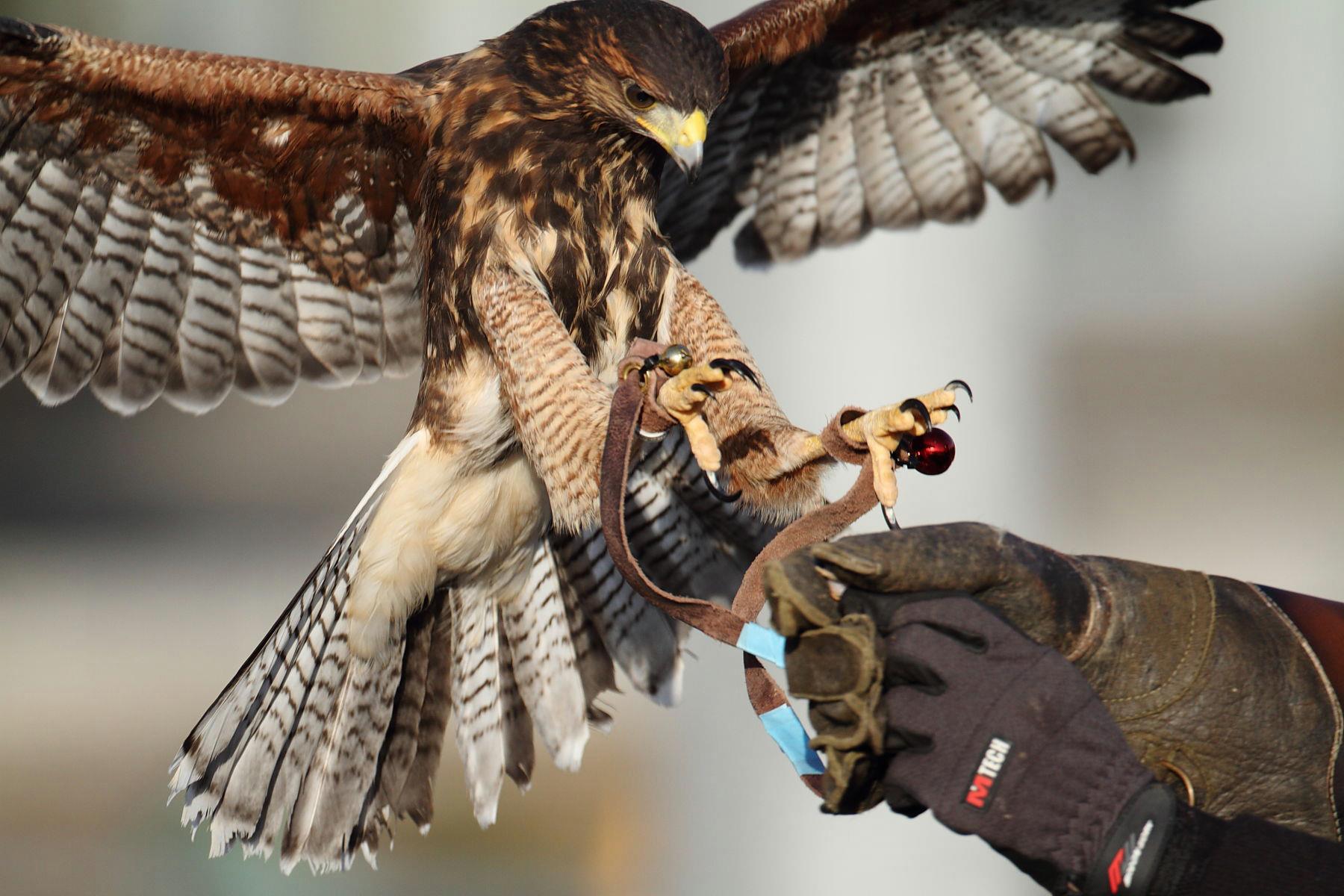 ハリスホーク 幼鳥